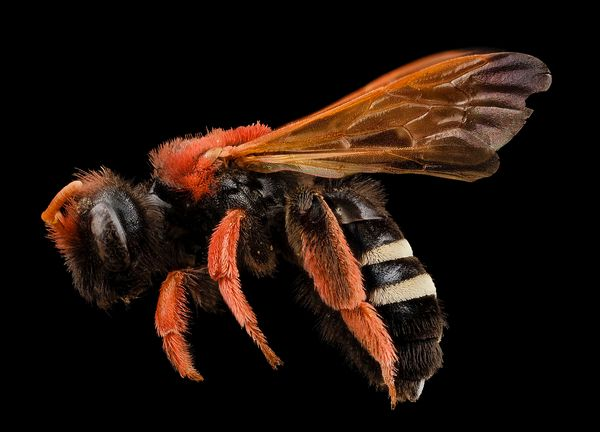 A Bee's Perspective: Cocaine and Reward Processing